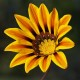 Treasure Flower - a rare species of daisy with a bright yellow core surrounded by a darker ring that radiates into the fiery orange and yellow petals.