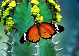 Butterfly feeding from a cactus flower
