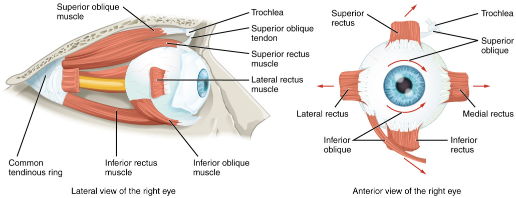 Muscles of the right eye
