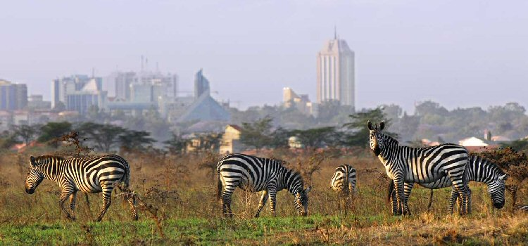 Nairobi skyline from the National Park, with zebra in the foreground.