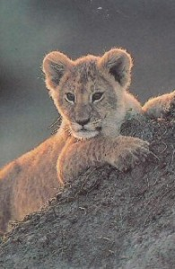 A lion cub haloed in light. We could not share a photo of Ernest because his cancer was so advanced.
