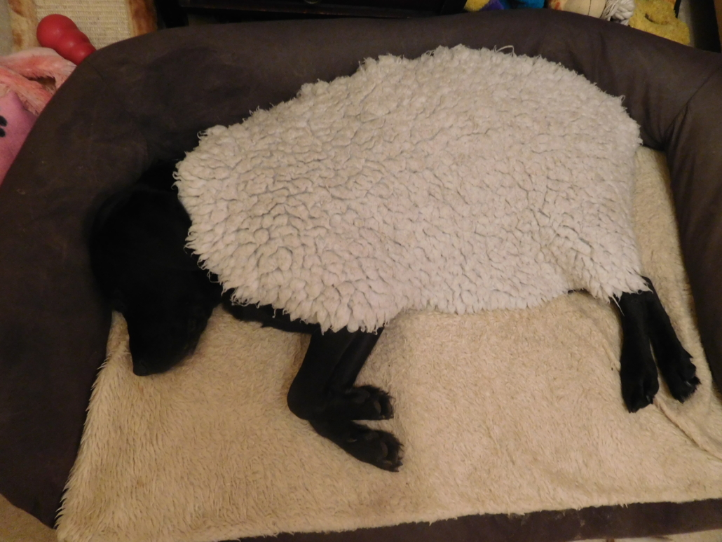 A black dog lies in a dog bed, covered in an oval wool fleece. Only the head and four extended legs are visible, giving the impression of a black sheep.