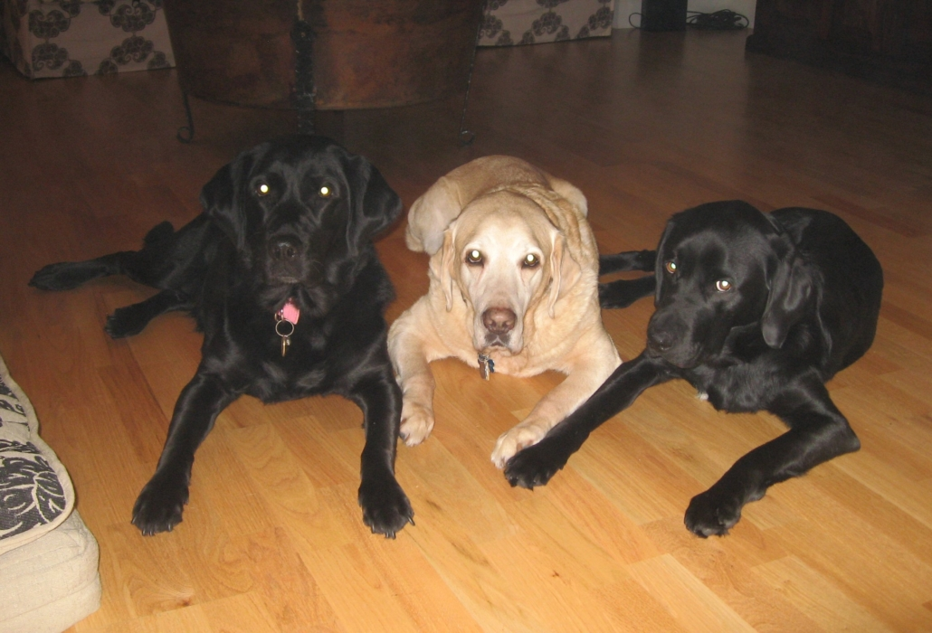 Three dogs lay beside one another, front paws outstretched as if ready to leap into other activities. The dogs on the left and right are black lab-retrievers. The central dog is a golden. All have white reflex in both eyes.