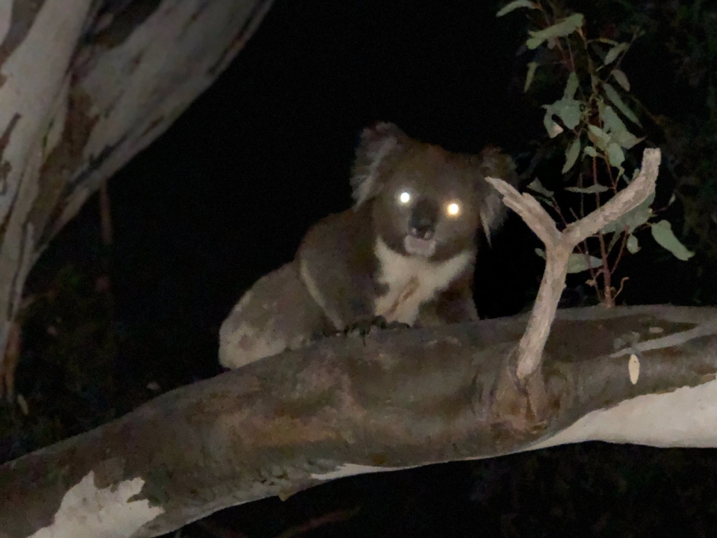 A koala is captured at night in a tree. The picture is out of focus, but the white reflex in both eyes is clearly visible.