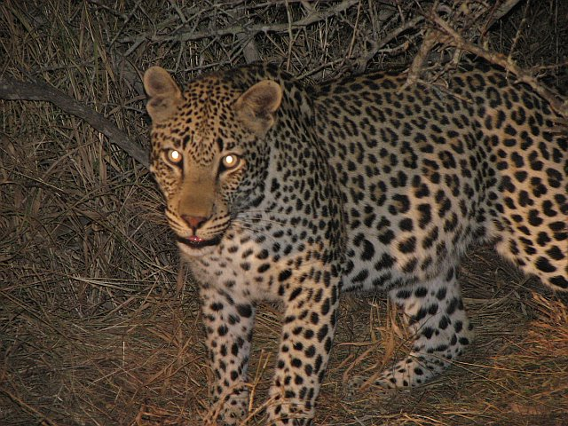 A leopard hunting on the African plain at night is seen with white reflex in both eyes.