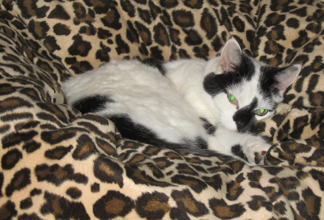 A cream and black cat is curled up in a leopard print beanbag. Both eyes are glowing green-white.