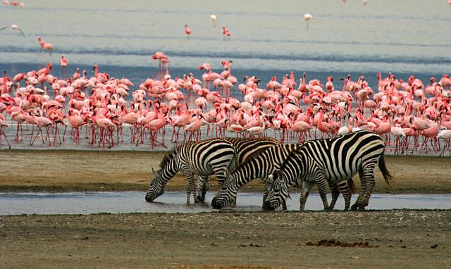 Flamingo and zebra on Lake Magadi in Ngorongoro Conservation Area.