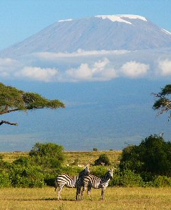 Zebra gaze across the African plains, the snow-capped peak of Kilimanjaro majestic in the background.