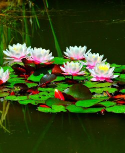 Water lilies and pads on still water
