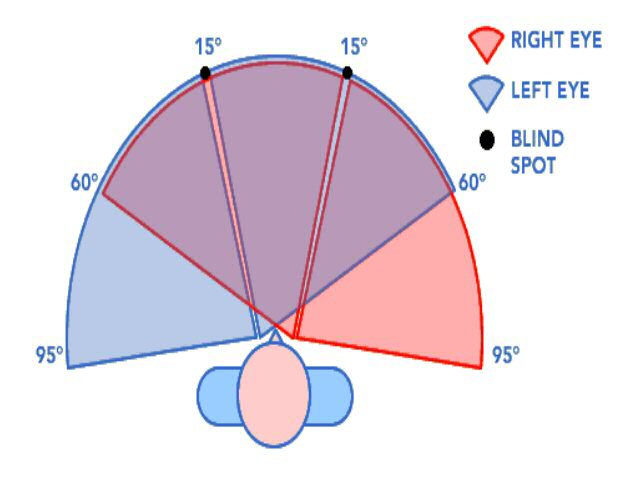 Diagram showing the visual field of both eyes, with peripheral vision and overlapping fields.