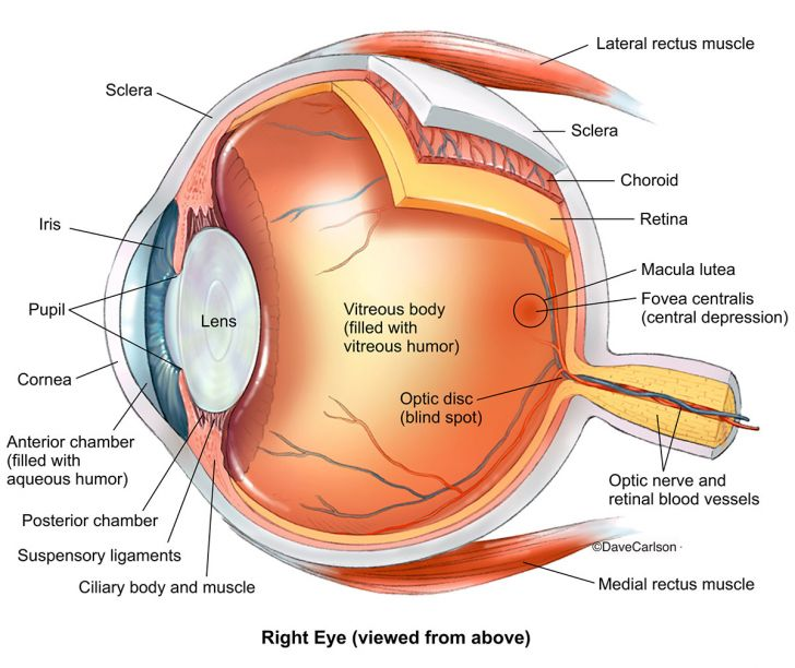 Diagram showing key structures of the eye.