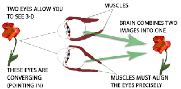 Diagram showing two eyes working together to form 3D images