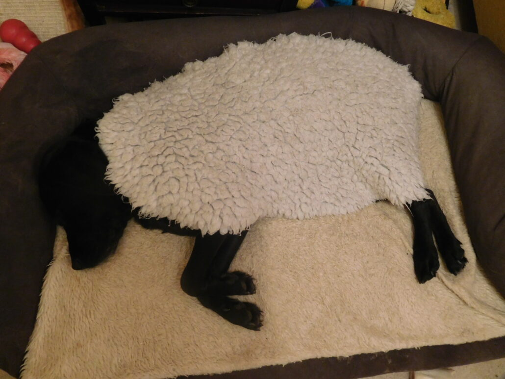 A black dog is lying on her side in her bed, a cream oval fleece covering her body. Only her head and legs are visible, so she looks like a black sheep.